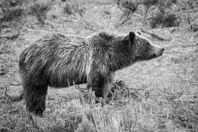 Side view of Grizzly 399. She's looking to the right, and her fur is a little wet.