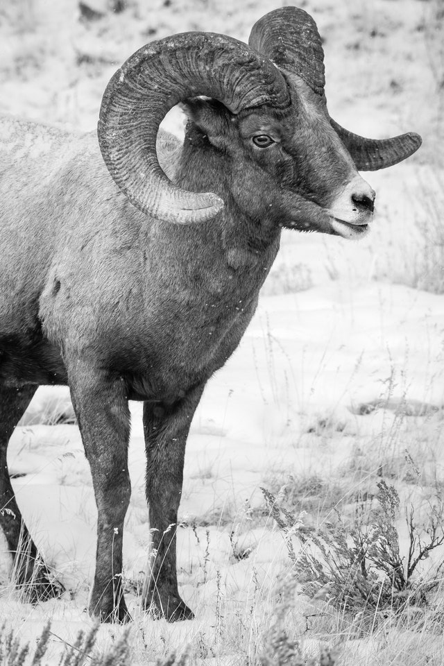 A bighorn ram standing in a snow-covered field.