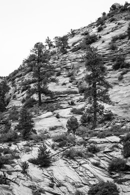 Two ponderosa pine trees growing in the sandstone hillside near the Zion-Mount Carmel Highway.