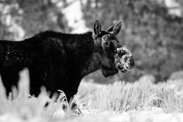 A bull moose without antlers walking in the snow at Antelope Flats, Grand Teton National Park.
