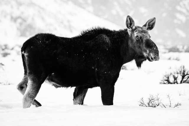 A moose walking in the snow at Antelope Flats, head turned towards the camera.