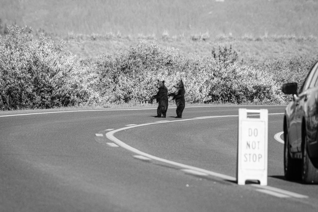 Two grizzly bear cubs of the year standing in the middle of a road.
