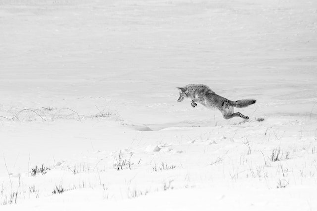 A coyote in a snowy field at the National Elk Refuge, seen in mid-air, pouncing on some prey.