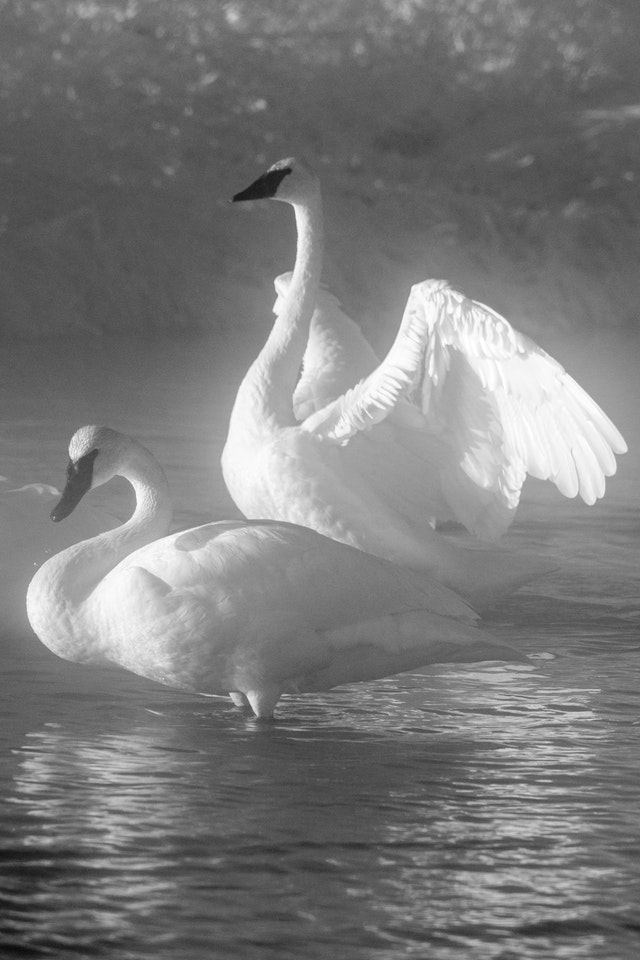 A trumpeter swan flapping its wings at the Kelly Warm Spring, behind another one.