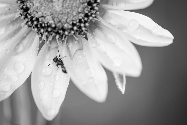 A macro photograph of a sunflower, covered in water drops, with an ant on one of the petals.